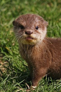 Baby Otter. Where can I purchase one of these adorable animals?