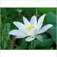Grulla blanca 5 unids/lote semillas de loto plantas acuáticas lirio de agua Bonsai plantas semillas para el hogar y jardín(China (Mainland))