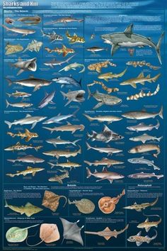 Laminated Sharks and Kin Poster Great White Thresher Hammerhead Skates Rays Types Of Sharks, Species Of Sharks, Types Of Fish, Hai Tattoos, Fish Chart, Shark Facts, Shark Photos, Kunst Poster, Water Life