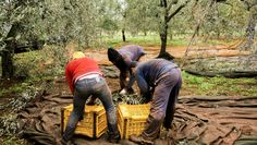 The olive farmers, hard at work!