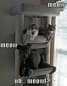 Meow… Meow.. Uh… Meoowf?