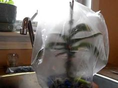 ORCHID CARE: Saving a sick orchid. Sphag and Bag method-Part 2.