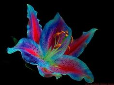 """Today I found a nice flower, a """"Stargazer Lilly"""", so I thought that would be wonderful to show the beauty of that flower using the newly red. Lilly Flower, Flower Art, Nice Flower, Exotic Flowers, Amazing Flowers, Rare Flowers, Photomontage, Uv Photography, Infrared Photography"""