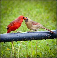 A Little Piece of Me: Male Cardinal Feeding Female