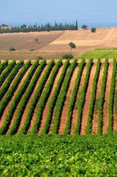 Macedonian vineyards in Greece