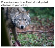Question of France's wild wolves comes to a head after 'attack' on 16-year-old boy http://ind.pn/1FLQLFb