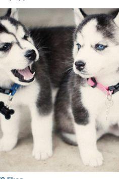 i want a huskie with blue eyes like mine