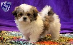 Hazel – Mal-Shi Puppy www.keystonepuppies.com  #keystonepuppies  #malshi