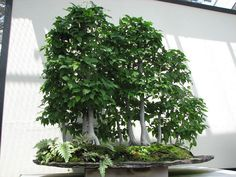 bonsai birch  | Recent Photos The Commons Getty Collection Galleries World Map App ...