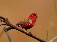 The red avadavat, red munia or strawberry finch (Amandava amandava) is a sparrow-sized bird of the Estrildidae family.