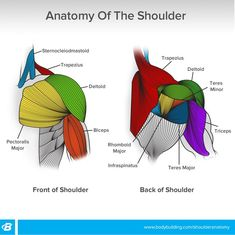 Shoulder Workouts For Women: 4 Workouts To Build Size And Shape Human Anatomy Drawing, Human Anatomy And Physiology, Human Body Muscles, Human Muscle Anatomy, Shoulder Anatomy, Gym Workout Tips, Boxing Workout, Workouts, Muscular System