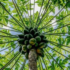 Papayas. Photo by Hu