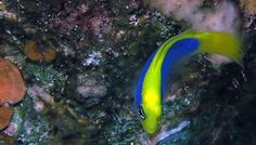 This Devious Fish Basically Reenacts The Thing To Catch Its Prey - Marine Biology