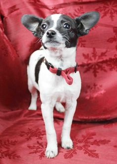 Miss Piggy, A Beautiful Rat Terrier Mix! This is an image we enjoy. Hope you enjoy it too - Little Hawk Trading, a favorite eBay store - Clothing & Shoes for LESS - http://stores.ebay.com/Little-Hawk-Trading