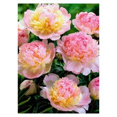 Spring Hill Nurseries White and Red Colored Flowers Raspberry Sundae Peony (Paeonia) Live Bareroot Perennial Plants - The Home Depot Cream Flowers, Pink Flowers, Pink Petals, Paeonia Lactiflora, Spring Hill Nursery, Growing Peonies, Fall Plants, Bulb Flowers, Companion Planting
