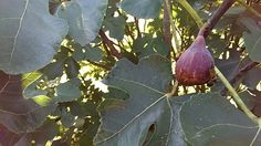 Figs Figs, My Photos, Vegetables, Vegetable Recipes, Veggies, Fig