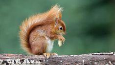 Eekhoorn. Nog steeds in onze tuin, ook enkele baby eekhoorntjes laten zich regelmatig zien. Gefilmd met Canon 7D en 500mm L f4 IS