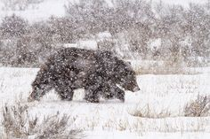 A male grizzly bear walks through Willow Flats during a late winter storm in Grand Teton National Park, Wyoming. Description from fineartamerica.com. I searched for this on bing.com/images