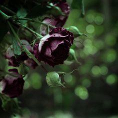 Black Magic Garden: Roses