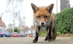 First urban fox cull for 30 years is stopped by activists #DailyMail