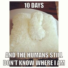 Maltese problems! So often at my mom's house! This totally happens to us with our two girls:-)
