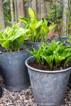Katarinas trädgård: Hosta i kruka Herbaceous Perennials, Flowers Perennials, Planting Flowers, Garden Edging, Garden Beds, Container Plants, Container Gardening, Outdoor Plants, Outdoor Gardens
