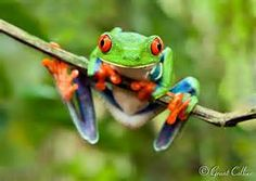frogs of costa rica - Yahoo Search Results