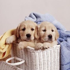 "Photographic Print: Golden Retriever Dog Two Puppies in Laundry Basket : Tips for Training and Educating Dogs ""Man's best friend"", ""The ideal pet"", Golden Retrievers, Perros Golden Retriever, Cute Puppies Golden Retriever, Puppy Care, Pet Puppy, Dog Cat, Cute Dogs And Puppies, I Love Dogs, Doggies"