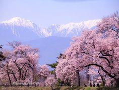 お疲れさまです   六道の堤 青空にアルプスがくっきり 堤には高遠コヒガンザクラ   Location Nagano Japan   by kinokoyy_pink