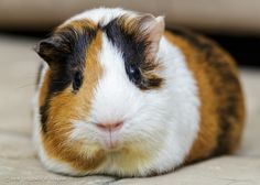 Guinea pig (Looks like Odo, right @morgannelson and @728madd?)