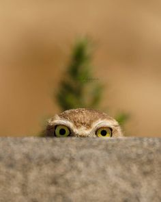 """Photo by A Burrowing Owl playing peekaboo with me. """" Makes me smile :-) """" Funny Owls, Funny Animals, Cute Animals, Wildlife Nature, Nature Animals, Beautiful Owl, Animals Beautiful, Beautiful Pictures, Owl Bird"""