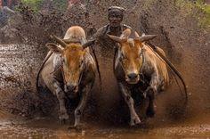 The Racing Cows by Media Hendriko