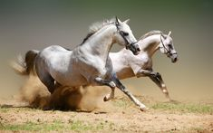 Race The Wind Horses iPhone 6 Case. Scene features two white horses running on an open plain. Wonderful animal photography and sure to please any horse lover. Tier Wallpaper, Horse Wallpaper, Animal Wallpaper, Green Wallpaper, Flower Wallpaper, Horse Photos, Horse Pictures, Wall Pictures, Animal Pictures