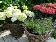 Hydrangeas and lavender in baskets - moveable colour in my garden!