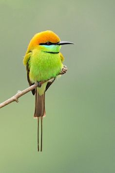 Birds in Thailand: Little Bee-eater