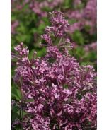 Lilac 'Bloomerang' Purple  4-8' Tall and Wide