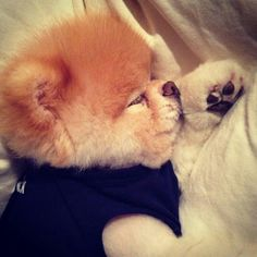 boo the dog Cute Small Dogs, Cute Dogs And Puppies, Baby Puppies, I Love Dogs, Boo The Cutest Dog, World Cutest Dog, Cute Funny Animals, Cute Baby Animals, Pomeranian Breed