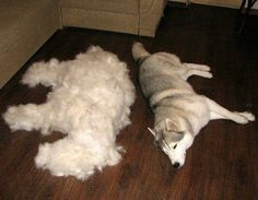 Lol. Yes, every time!!  Husky hair pile. This is sooo true!!!