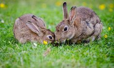 Rabbits aren't only cuddly and cute. They are also really funny animals. Check out the top 101 rabbit jokes to get you hopping with laughter. Rabbit Jokes, Rabbit Facts, Raising Rabbits For Meat, Meat Rabbits, Especie Animal, Animal Facts, What Can Rabbits Eat, Mini Lop Rabbit, Rabbit Enclosure