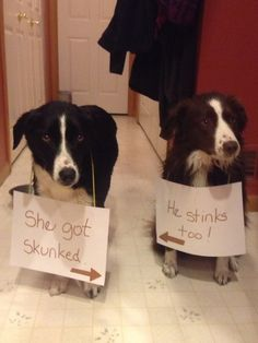 SkunkedSam (right) and Sadie (Left) came inside for us only to find they had been sprayed by a skunk.…View Post