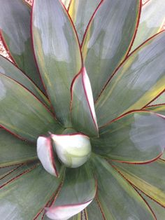 """Agave 'Blue Glow' - """"Blue Glow Agave"""" Flower: N/A Foliage Color: Blue / Green / Red Size: 2' x 2' Use: Landscape / Container Hardiness: 20°F Light Requirements:"""