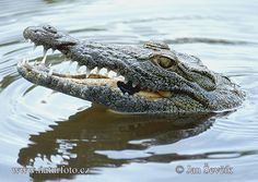 Google Image Result for http://www.naturephoto-cz.com/photos/sevcik/nile-crocodile--crocodylus_niloticus.jpg