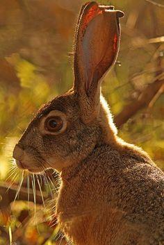 rabbit - Hare - Gaia's Grace on Facebook
