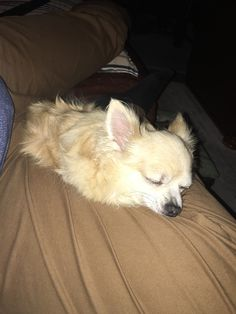 Beauty Chihuahua | Pawshake