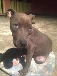 Jimmi - Staffordshire Bull Terrier