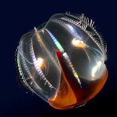 Kevin  Raskoff, Hidden ocean 7 Cydippid ctenophore, 2005 / 2007 © www.lumas.de/ #Lumas