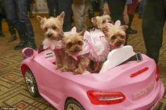 New York Pet Fashion Show 2017! New York City Yorkies Gia, Pia, Mia, and Tia in Pink Convertable