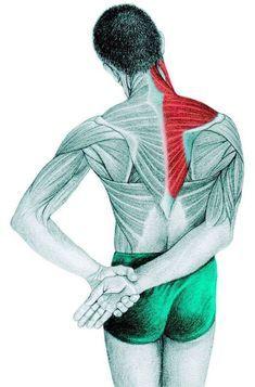 Anatomy of stretching: trapezius, supraspinatus, deltoid muscle Body Stretches, Stretching Exercises, Fitness Del Yoga, Posture Fix, Yoga Posen, Yoga Gym, Massage Therapy, Asana, Yoga Inspiration