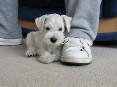 Schnauzers stonebrooke - miniature schnauzer puppies sc, Paige & prince…