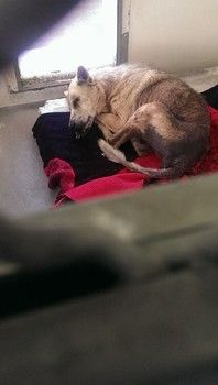 RESCUED!!! https://www.facebook.com/photo.php?v=282406788598629&set=vb.171850219654287&type=2&theater Family, not up for the responsibility, surrenders 13-year-old dog to shelter